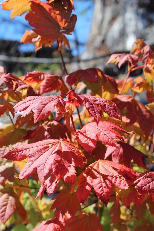 maple leaves  fall  autumn