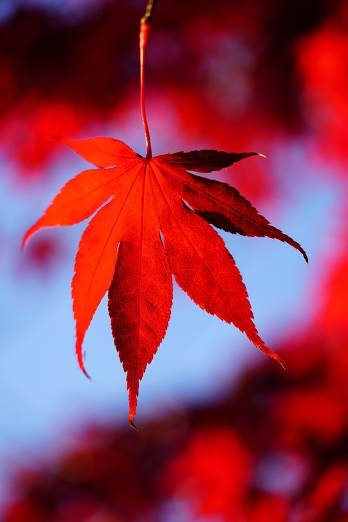 maple leaves  leaves  autumn