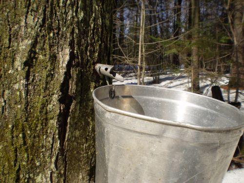 klevas, cukrus & nbsp, sezonas, broileriai, medis, klevų sirupo sezonas