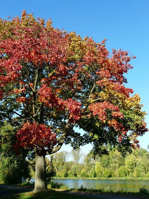 klevas,medis,ruduo,kritimo lapija,Spalio mėn,kritimo spalva,rudens spalvos,lapija,gamta,acer platanoids,adatų lapų klevas,lapuočių medis,Acer,Norvegijos klevas,klevas,parkas,upė,idilija