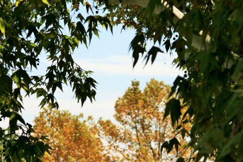 medis, klevas, lapai, žalias, fonas, geltona, klevo medis, kuriame yra geltonas medis