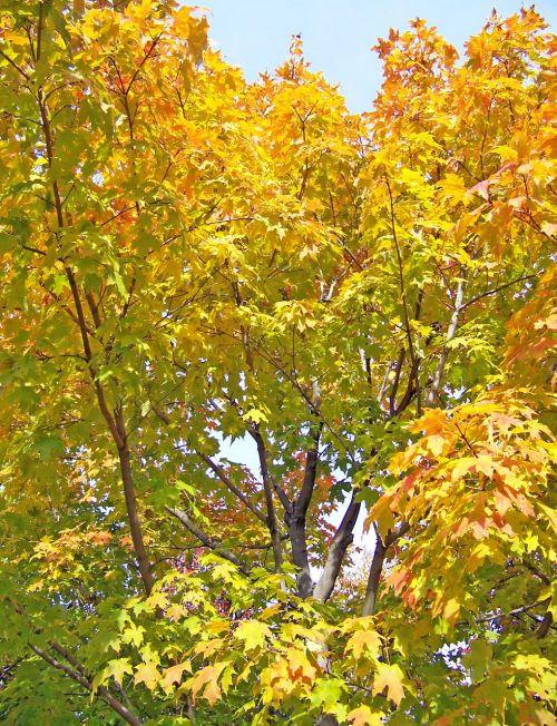 ruduo, kritimas, klevas, medis, lapai, geltona, klevo medžio lapai