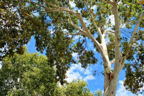 Maple Tree Trunk