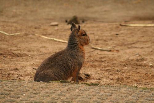 mara rodent mammal