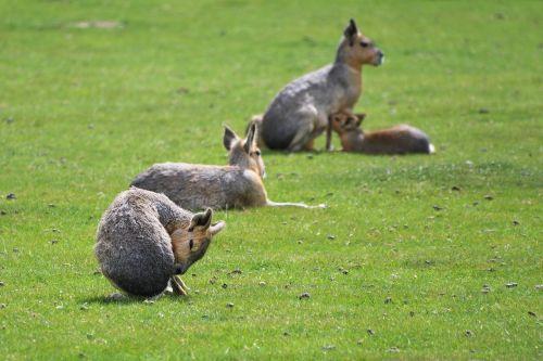 mara hare of patagonia grass