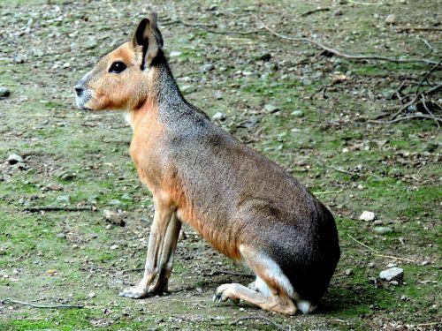 mara patagonian mara rodent