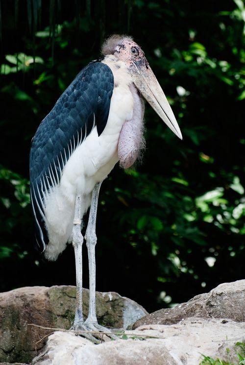 marabou stork standing bird