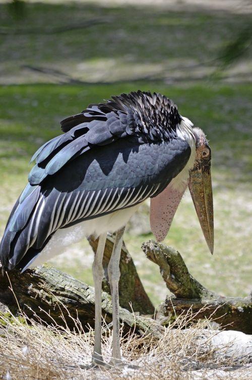 marabu big bird nest building