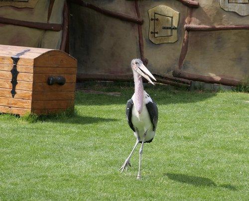 marabu  animal world  adjutant bird