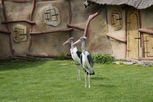marabu  adjutant bird  scavengers