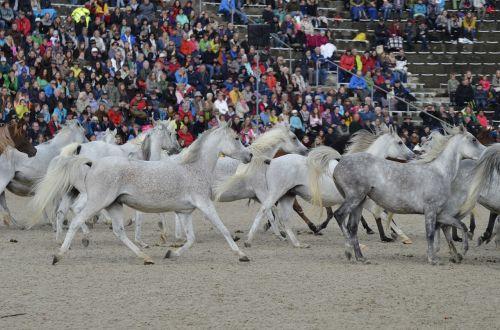 marbach hengstparade2017 stallion