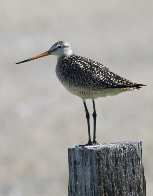 marbled godwit bird perched