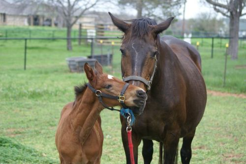 mare foal filly