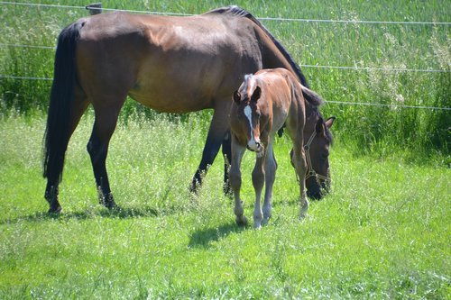 mare  mother mare  foal