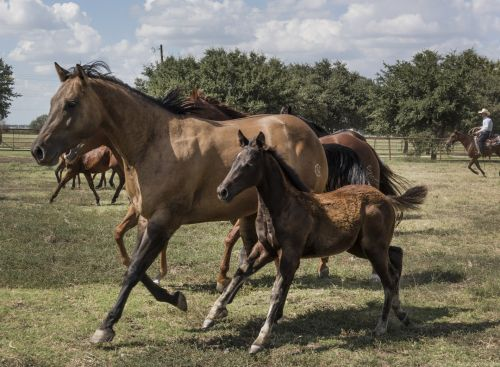 Mare And Colt Running