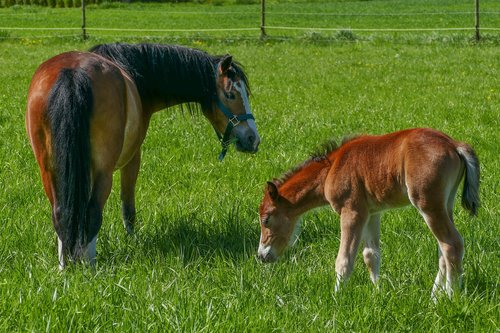 mare stallion foal  pony foal  ponystue