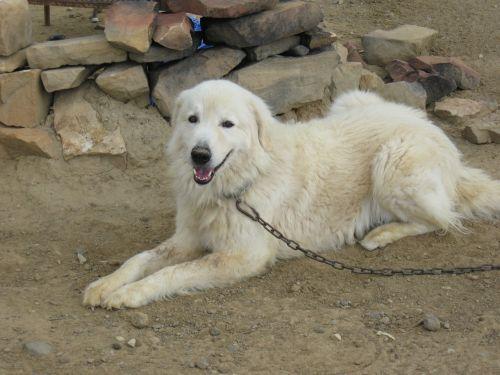 maremma sheepdog sheepdog dog