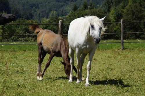 mares foal arabs