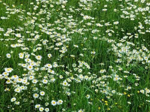marga rites meadow daisy meadow