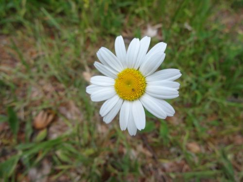 margarétka bloom biela