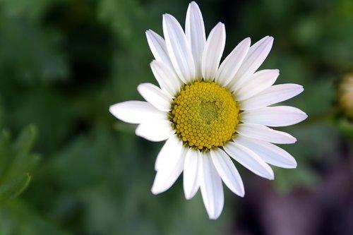 margarétka  perennial  flower