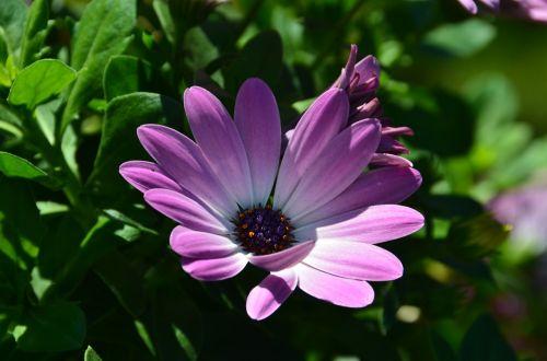 margarita african daisy osteospermum ecklonis