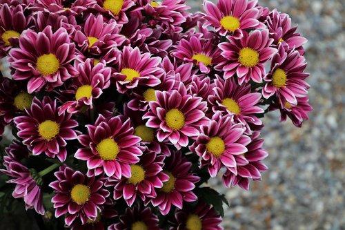 margarita  garden  pink