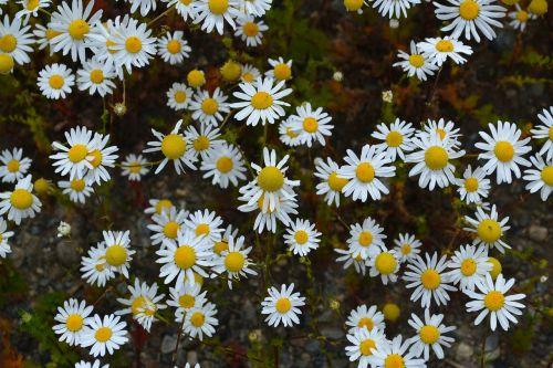 margaritas flowers patagonia