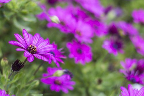 margaritas flowerpot purple