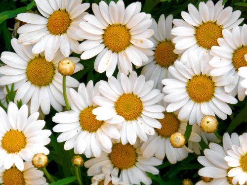 margaritas flowers background