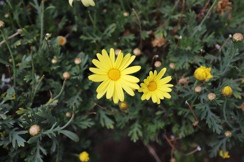 margaritas  yellow  flower