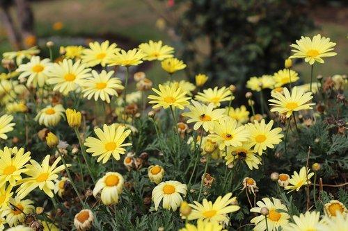 margaritas  prado  flowers