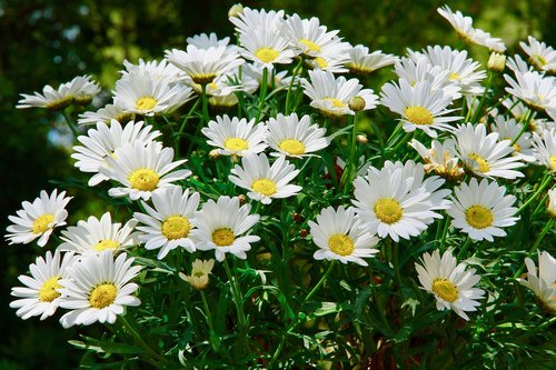 margaritas  flowers  garden
