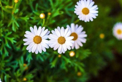 margaritas  flowers  spring