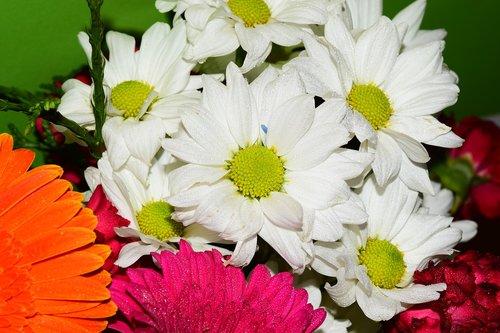 margaritas  white  flora