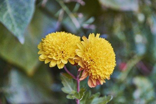 margaritas  garden  flower