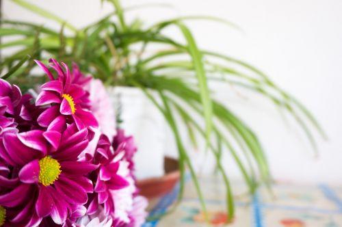 margaritas daisy purple
