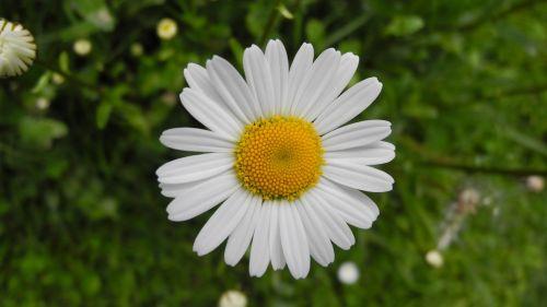 margarite meadow flower