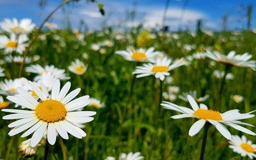 margarite  meadow  daisies