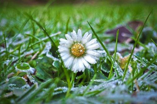 margarite  daisy  meadow