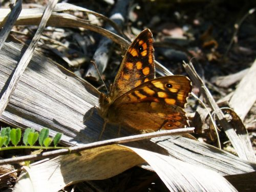 margenera saltacercas butterfly