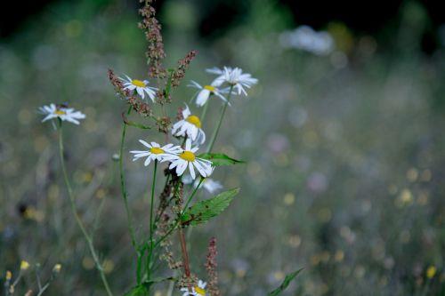 margin renon daisy summer
