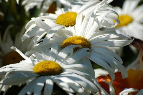 marguerite,Daisy,žydėjimas,pavasaris,gamta,sodas,žiedadulkės,gėlė,parkas,balta gėlė,žydėjo