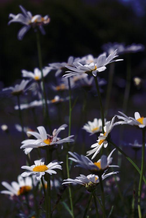marguerite,gėlė,augalas,žiedas,žydėti,gamta,vasara,pievos margeritas,balta,balta gėlė,žydėti,aštraus gėlė,sodas,pavasaris,pavasario gėlė,žolės žolės,laukinė gėlė,frisch