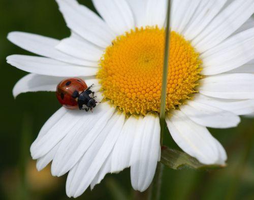 marguerite ladybug nature