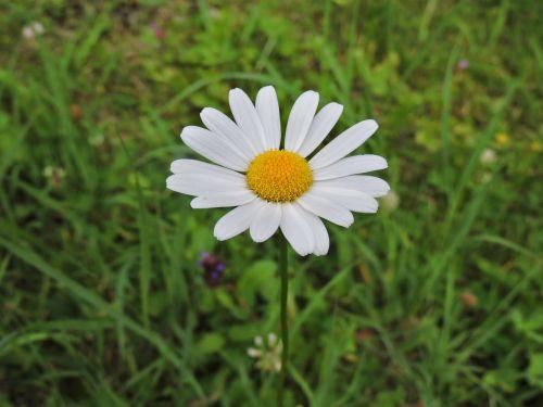 marguerite white meadow