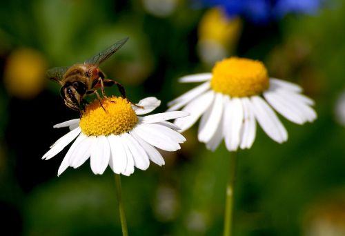 marguerite,bičių,žiedas,žydėti,vabzdys,gėlė,augalas,gamta,Uždaryti,vasara,žiedadulkės,apdulkinimas,maistas,gamtos įrašymas,flora,geltona,balta