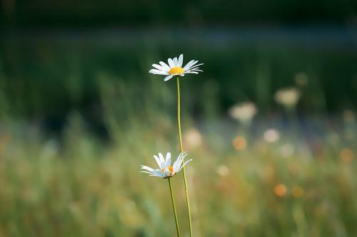 marguerite meadow margerite white