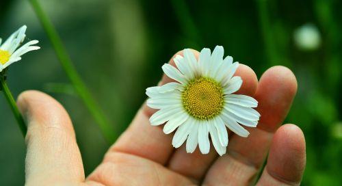 marguerite,balta marguerita,ranka,žiedas,žydėti,pievos margeritas,Uždaryti,bičių žiedadulkės,žinoma,balta gėlė