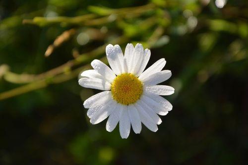 marguerite flower petals